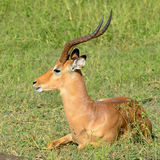 Impala male Stock Image