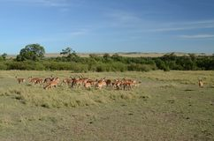 Impala Male with a Herd of Ewes. This was taken in the Masai Mara Kenya, Africa Stock Photo