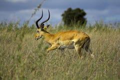 Impala. A male Impala walks in the bush at the Nairobi National Park. Aepyceros melampus stock image