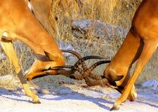 Impala males fighting. Impala males in Etosha National Park, Namibia Royalty Free Stock Photos