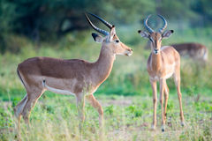 Impala males green backgound Stock Images