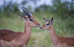 Impala males in the rain. Young impala males share an intimate moment in soft rain in the Kruger Park, South Africa stock photography