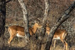 Impala males standing behind a tree. Impala males standing face to face behind a bushveld tree royalty free stock images