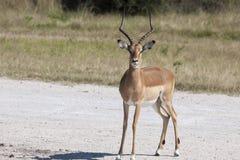 Impala maschio Fotografia Stock Libera da Diritti