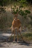Impala maschio che si accovaccia per andare alla toilette Immagini Stock