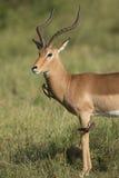 Impala masculin (melampus d'Aepyceros) Afrique du Sud Image stock