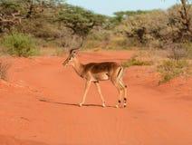 Impala masculino Fotografía de archivo libre de regalías