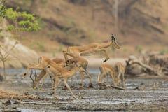 Impala masculino (melampus del Aepyceros) que salta a través de fango Imagen de archivo libre de regalías