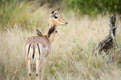 Impala med fåglar royaltyfria bilder