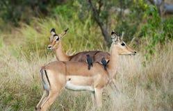 Impala med fåglar royaltyfri foto