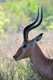 Impala med härliga krökt horns royaltyfria foton