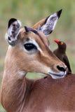 Impala med oxpecker in så Royaltyfri Fotografi