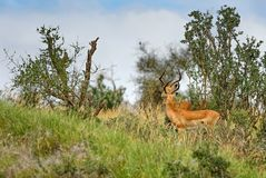 Impala - melampus d'Aepyceros photos stock