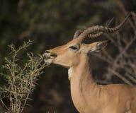 Impala, melampus d'Aepyceros image libre de droits