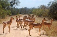 Impala (melampus d'Aepyceros) Photographie stock libre de droits