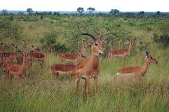 Impala (melampus d'Aepyceros) Photos libres de droits