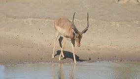 Impala, melampus de Aeplyceros metrajes