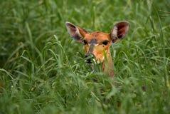 Impala - melampus del Aepyceros Imagenes de archivo