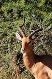 Impala (melampus del Aepyceros) Imagen de archivo libre de regalías
