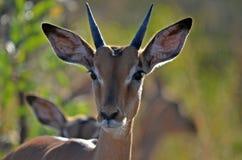 Impala (melampus del Aepyceros) Foto de archivo