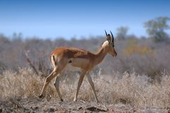 Impala (melampus del Aepyceros) Fotografía de archivo libre de regalías