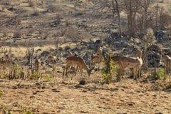 Impala, melampus del Aepyceros, en el parque nacional de Chobe, Botswana Fotografía de archivo libre de regalías