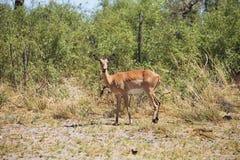 Impala, melampus del Aepyceros, parque nacional de Bwabwata, Namibia Imágenes de archivo libres de regalías