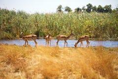 Impala, melampus del Aepyceros, parque nacional de Bwabwata, Namibia Fotos de archivo libres de regalías