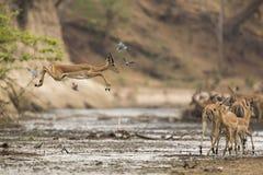 Impala (melampus del Aepyceros) que salta a través de fango Foto de archivo