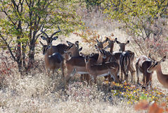 Impala met landschap Etosha Nationaal park-Namibië Royalty-vrije Stock Foto's