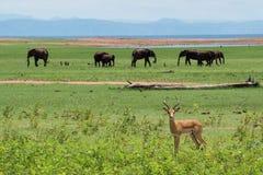 Impala met olifanten Stock Foto's