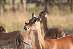 Impala. Mikumi National park, Tanzania Royalty Free Stock Photos