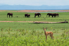 Impala mit Elefanten Stockfotos