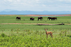 Impala mit Elefanten Stockbilder