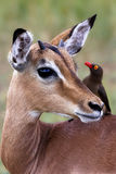 Impala mit oxpecker herein so Lizenzfreie Stockfotografie