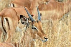 Impala mit redbilled oxpecker Lizenzfreies Stockbild