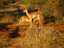 Impala mother and calf Stock Images