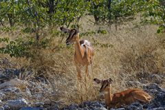 Impala mother and baby royalty free stock image