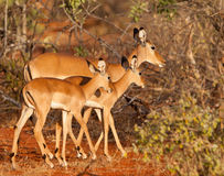 Impala mother and twins Stock Images