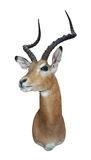 Impala mount. Taxidermy mount of an Impala isolated Stock Photography