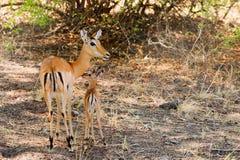 Impala-Mutter und neugeborenes Kalb, die in der Buschsteppe in Süd-Nationalpark Luangwa, Sambia, südlicher Afrika stehen Lizenzfreie Stockfotos