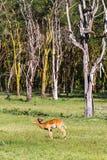 Impala nära träd kenya Royaltyfri Fotografi