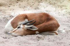 Impala na areia Imagem de Stock Royalty Free
