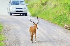 Impala na drodze w Afryka Zdjęcie Royalty Free