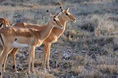 Impala na sawannie w Afryka Fotografia Stock