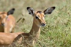 Impala na sawannie w Afryka Obraz Stock