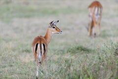 Impala na sawannie w Afryka Zdjęcia Royalty Free