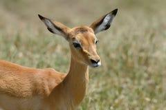 Impala na sawannie w Afryka Obrazy Royalty Free