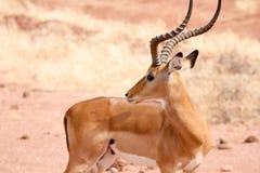 Impala na Tsavo Natioanl parku - Kenja Zdjęcia Royalty Free