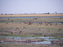 Impala in Nationalpark Chobe stockfoto